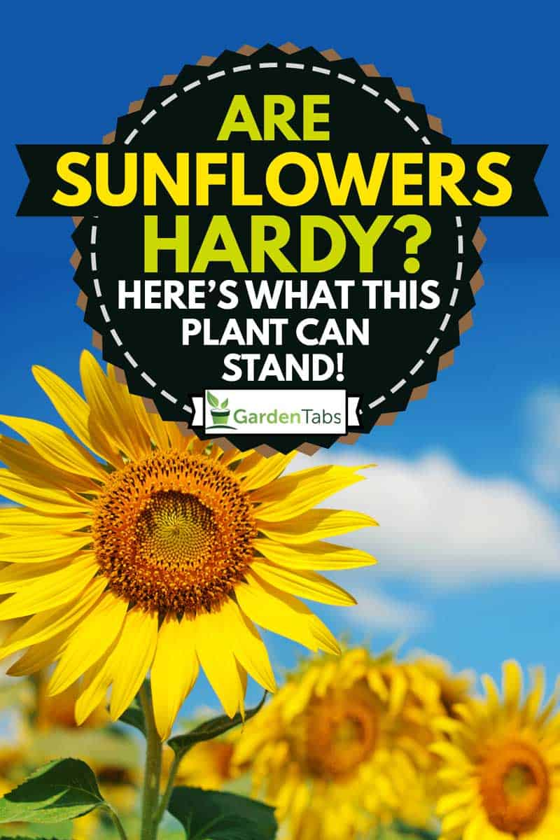 landscape field of sunflowers, Are Sunflowers Hardy? [Here's What This Plant Can Stand!]