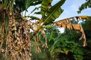 Should You Cut Dead Leaves Off A Banana Tree?