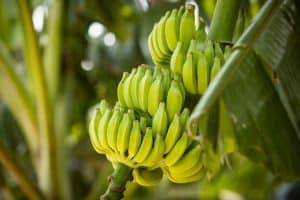 Banana tree with bunch of growing ripe green bananas, How Do I Get My Banana Tree to Produce Fruit?
