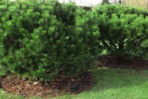 Beautiful large, dwarf mountain pine, pinus mugo in the garden, What's the Best Ground Cover Under Pine Trees?