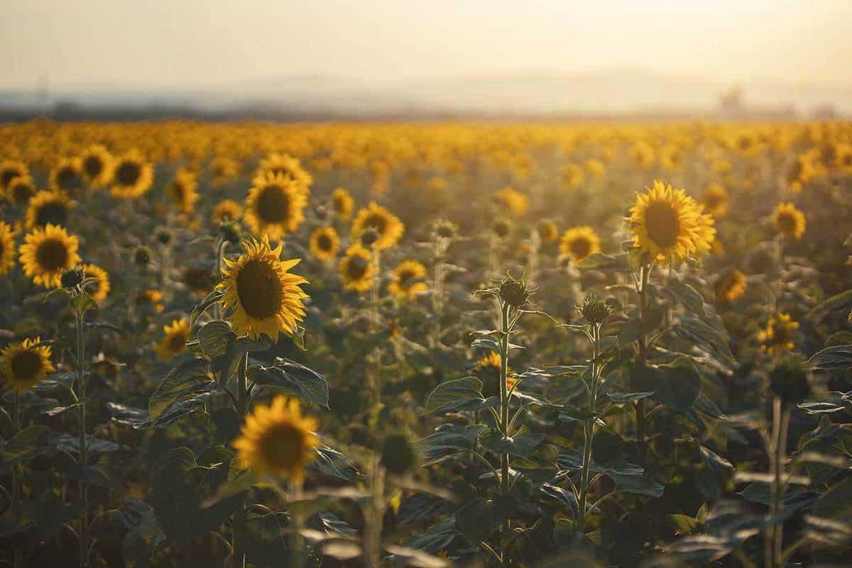 Beautiful sunflower field in the summer