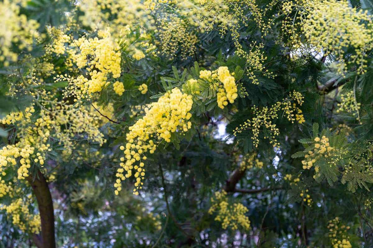 Blooming Acacia farnesiana in springtime