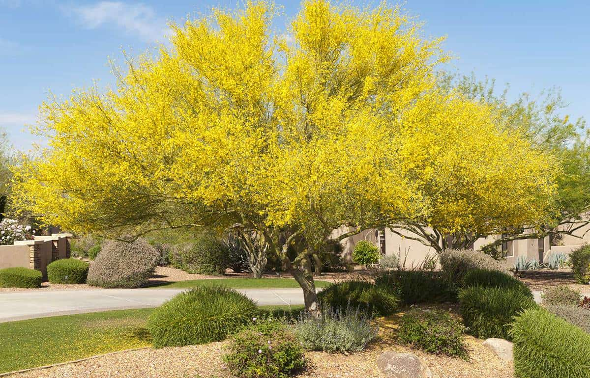 Blooming Palo Verde Tree set in yard with desert landscaping