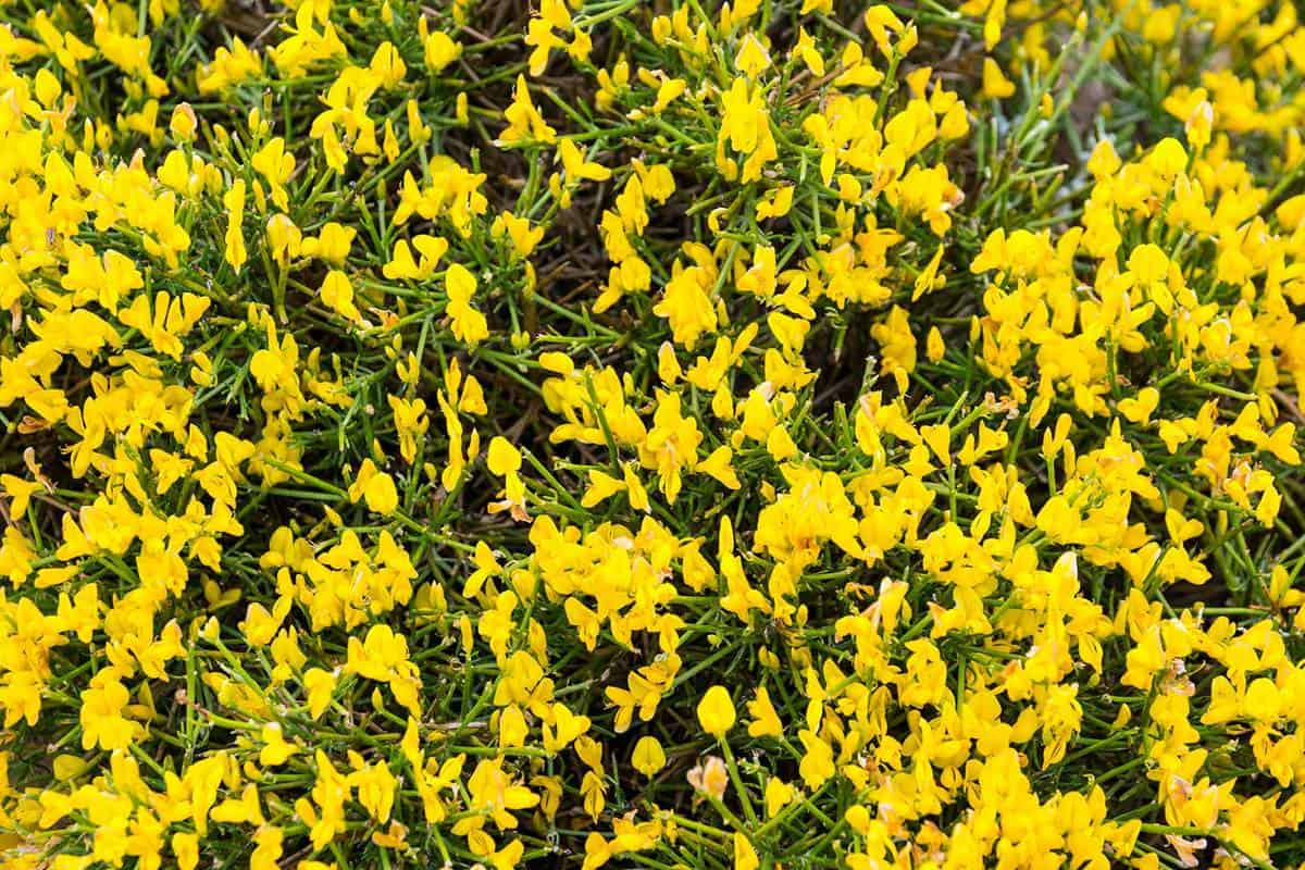 Blooming genista lydia in spring