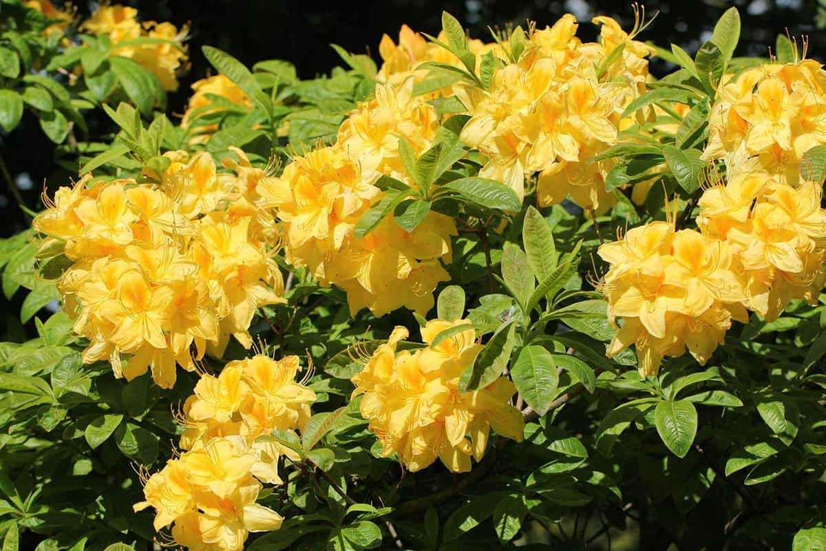 Blooming yellow azalea or rhododendron