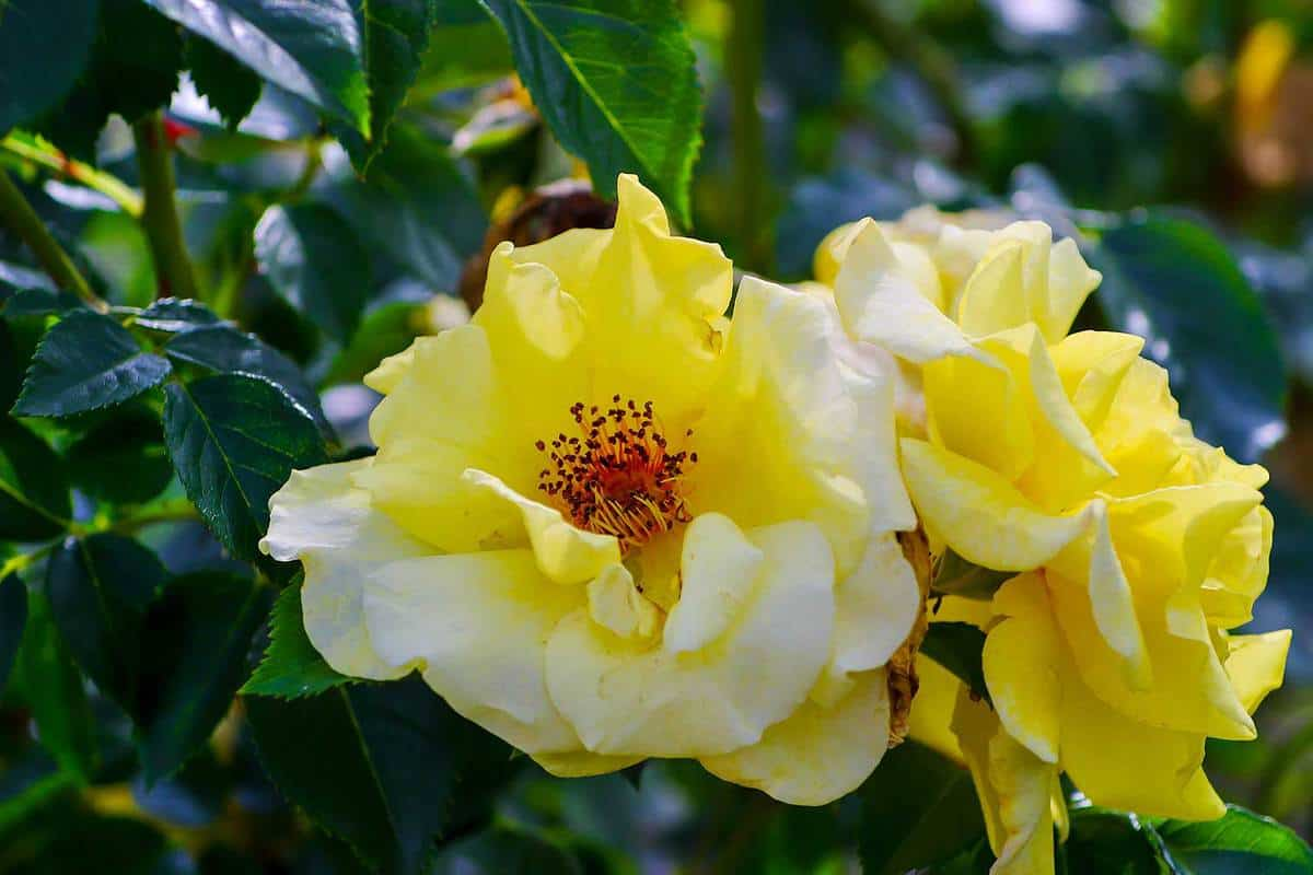 Blossom of the yellow shrub rose (Light Queen Lucia)