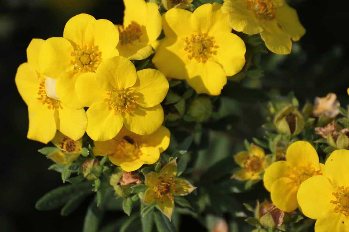 Blossoming shrubby cinquefoil