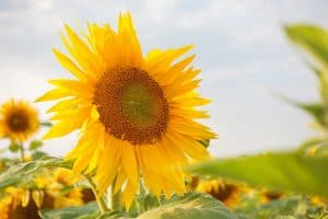 What's the Best Soil for Sunflowers?