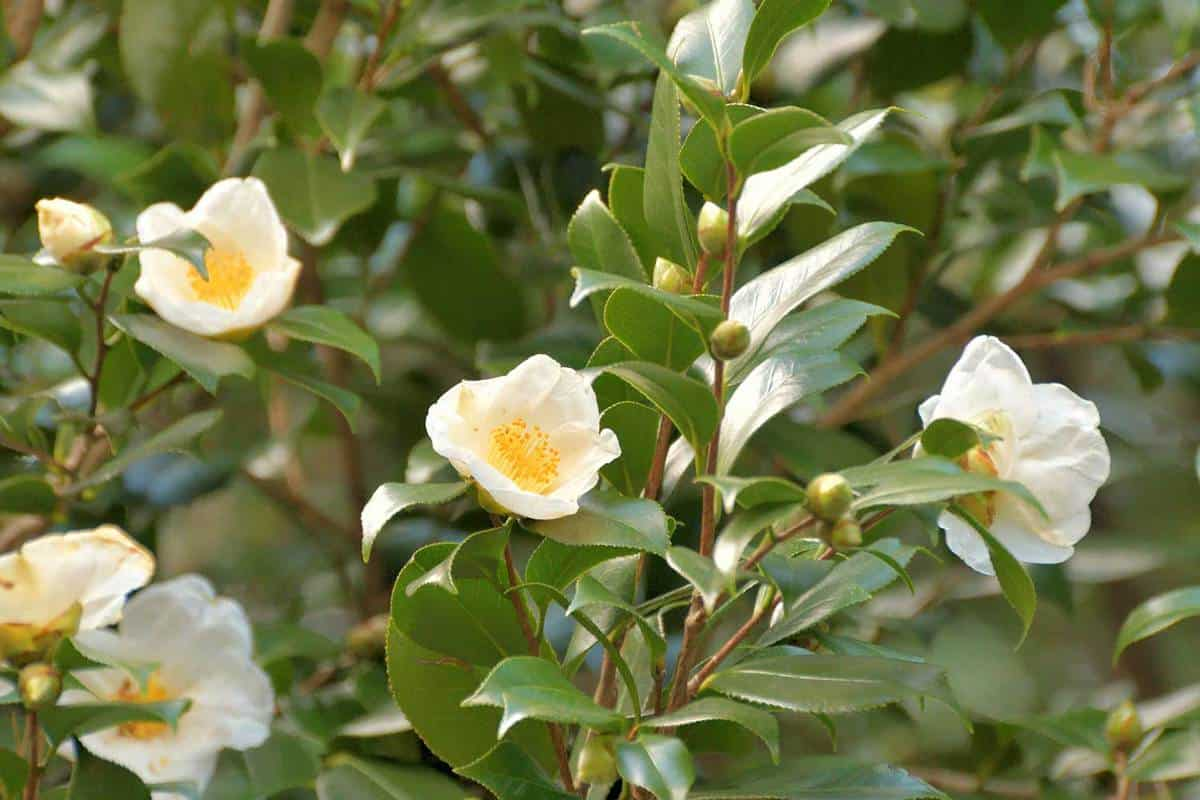 Camellia japonica with glossy dark green leaves