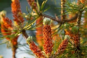 What Do Pine Tree Flowers Look Like?