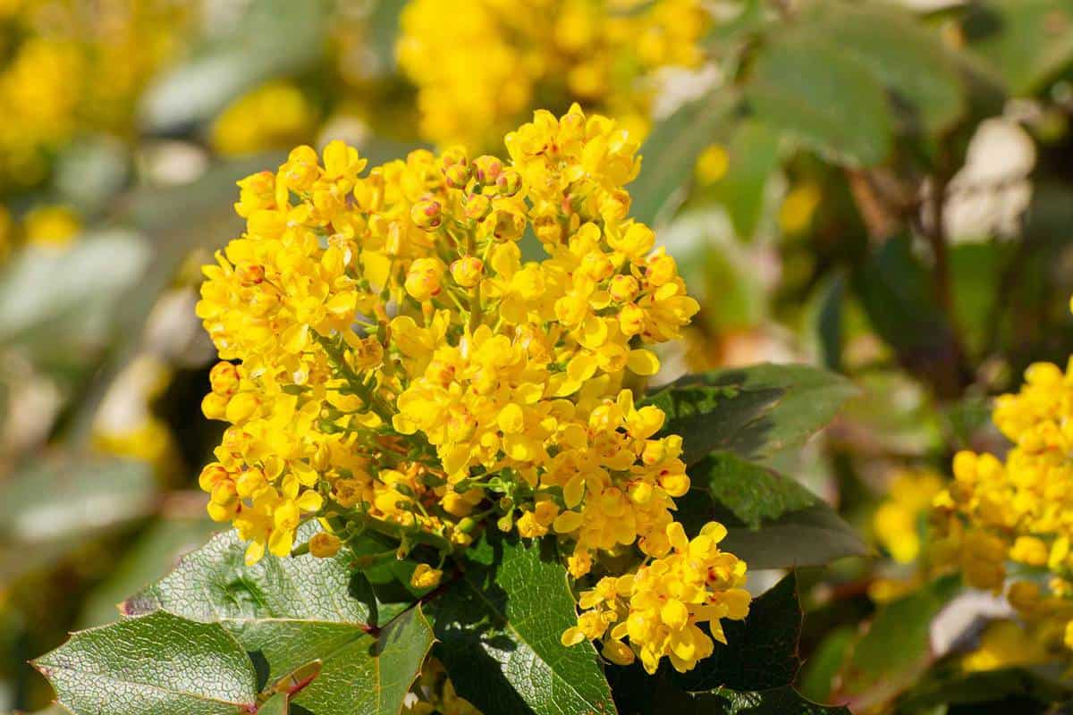 Close up of yellow flowers of a mahonia