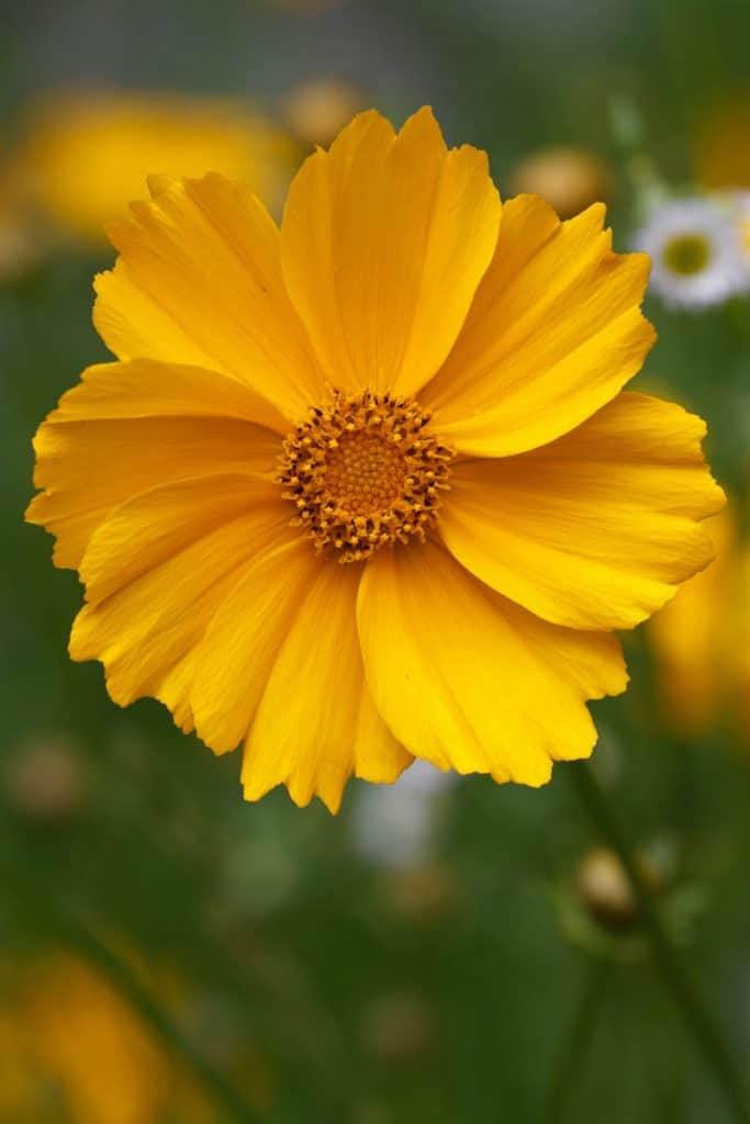 Close up shot of a Coreopsis Plant