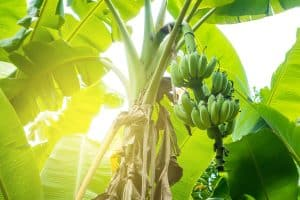 Does A Banana Tree Need Full Sun?