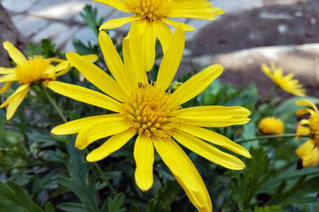 Close up shot of a Yellow bush lily