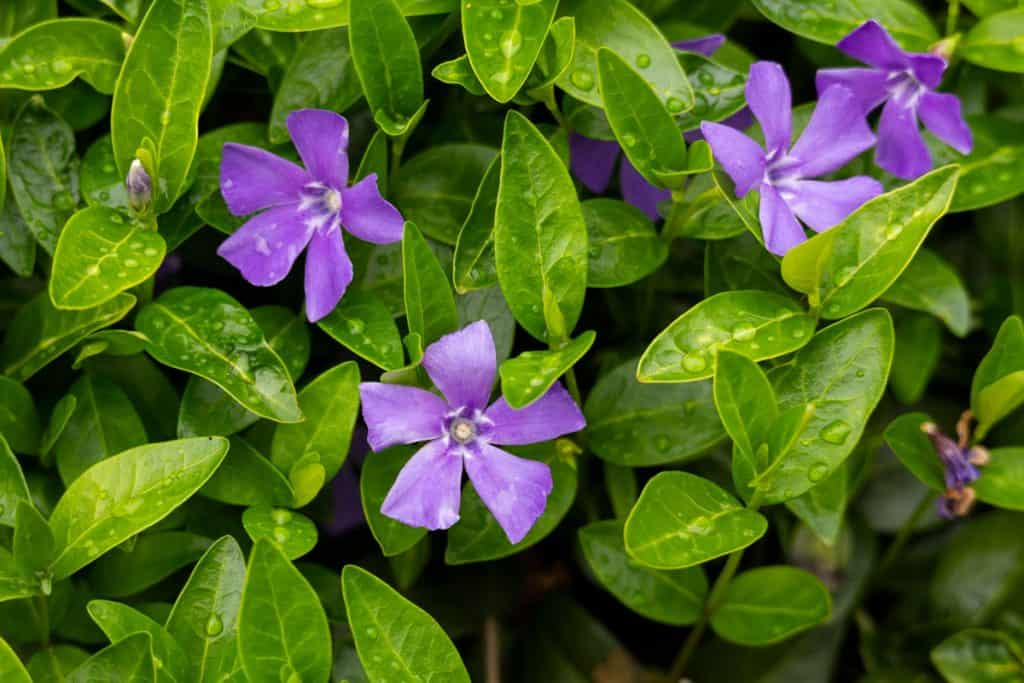 Common periwinkle or Vinca