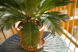 8 Palm Trees That Stay Small [Great Houseplants Options!]
