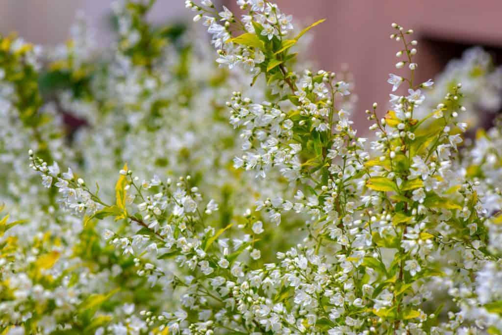 Deutzia flowers blooming on the hot sun