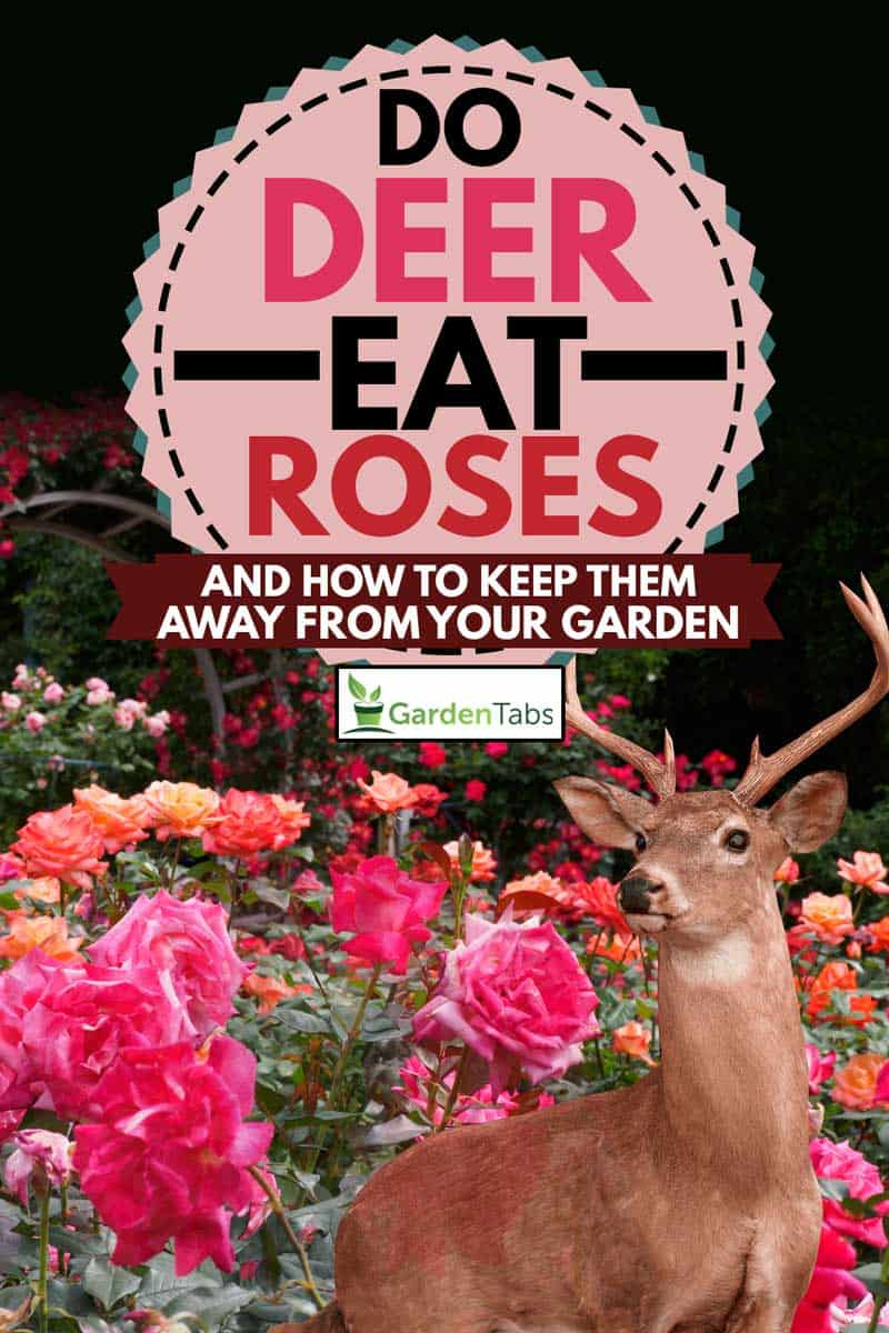 Different rose color in the garden with deer, Do Deer Eat Roses? [and How to Keep Them Away From Your Garden]