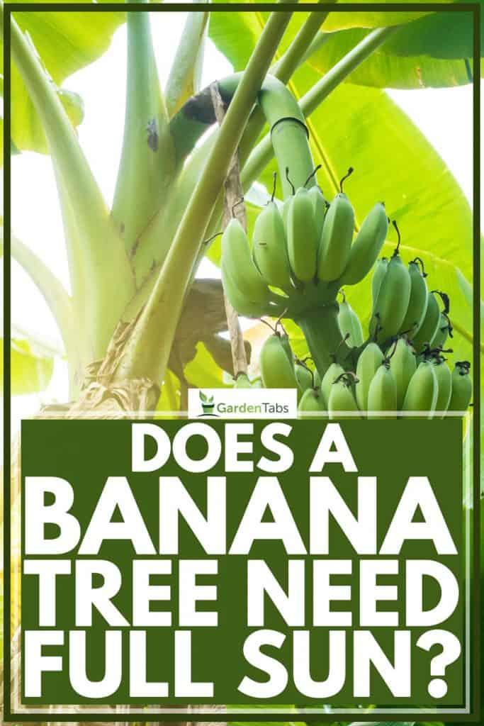 Close up shot of a banana tree bearing fruit on a hot day, Does A Banana Tree Need Full Sun?
