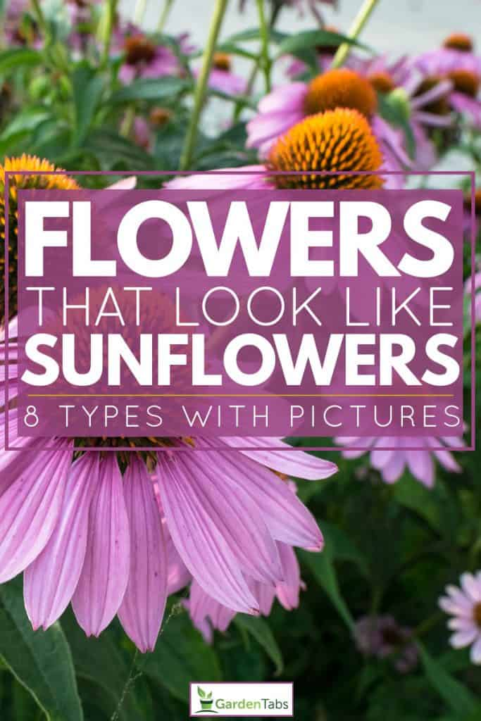 A field of Coneflowers at full bloom , Flowers That Look Like Sunflowers [8 Types With Pictures]