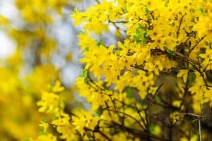 10 Yellow Flowering Trees and Shrubs