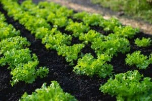11 Edible Plants That Grow Fast [Healthy & Yummy!]