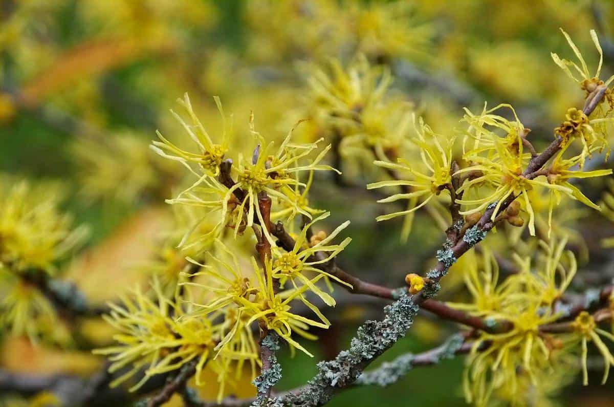 Hamamelis virginiana is blooming in fall