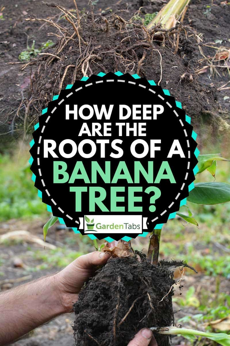 A collage of banana plant roots, How Deep Are the Roots of a Banana Tree?