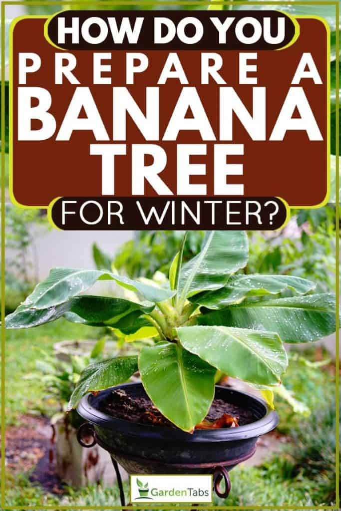Small banana tree on a pot behind a garden, How Do You Prepare a Banana Tree for Winter?