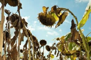 Inside of a field of dried sunflowers, Why Are My Sunflowers Dying? [And how to save them]