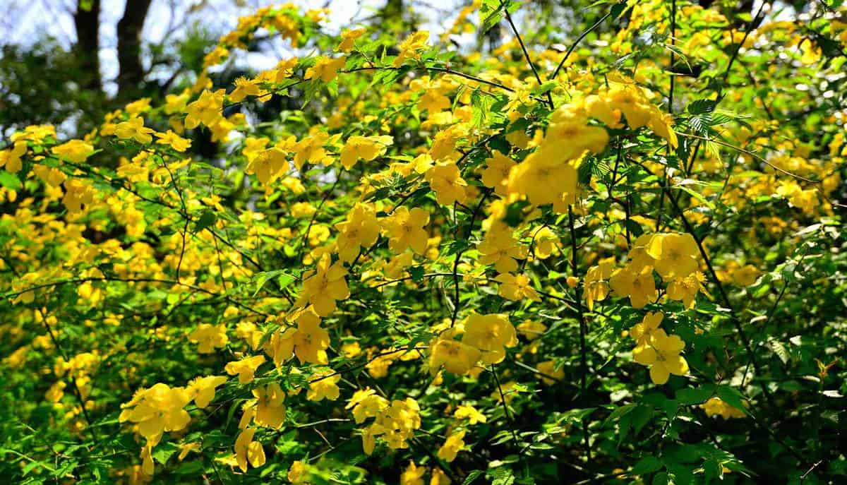 Kerria japonica commonly called Japanese kerria gracefully flowering