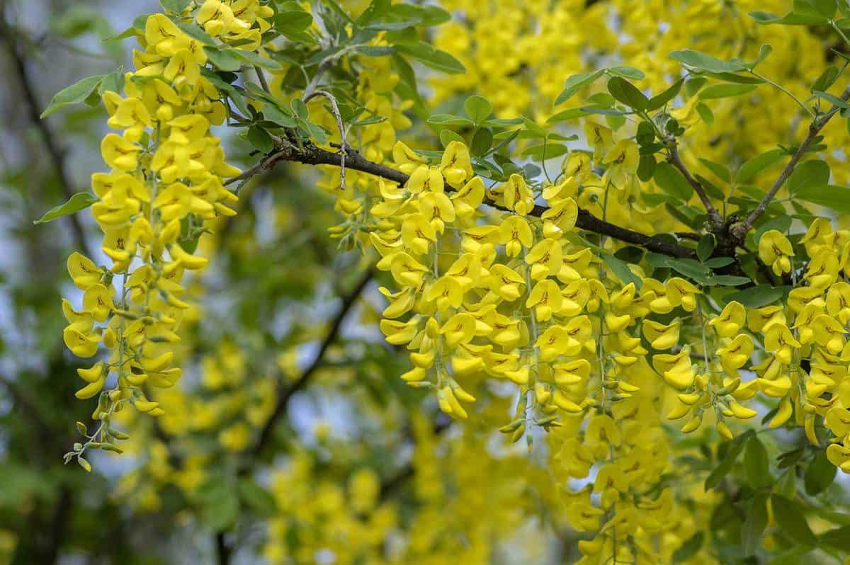 Laburnum anagyroides ornamental shrub branches blooming