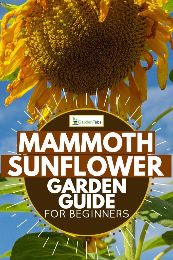 Russian mammoth sunflower or helianthus annuus, Mammoth Sunflower Garden Guide for Beginners