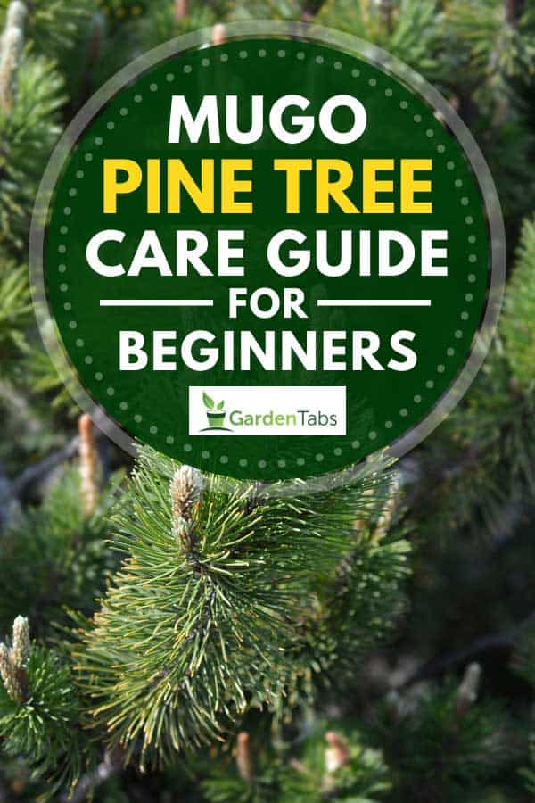 Close up of dwarf mountain pine Mughus, Mugo Pine Tree Care Guide for Beginners