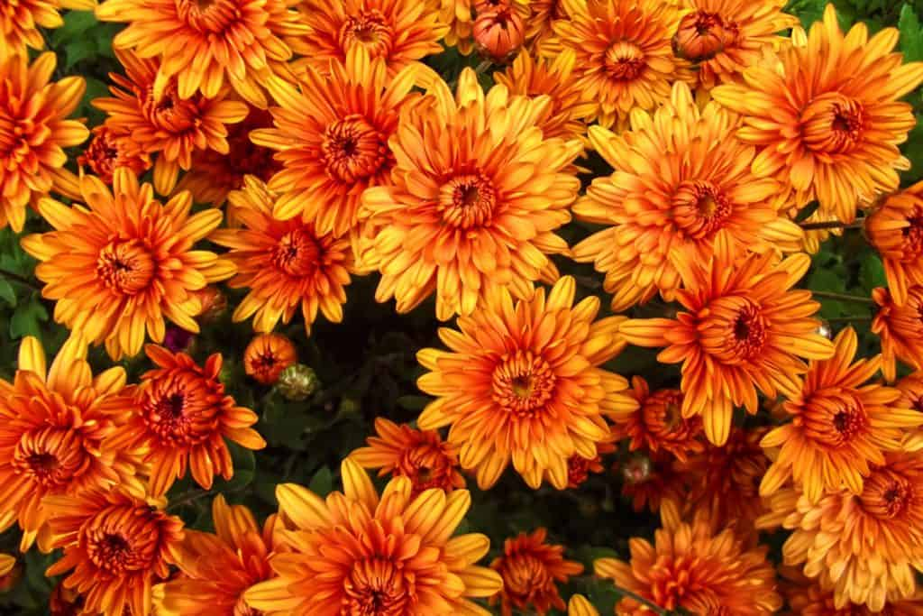 Orange Chrysanthemums photographed at a top angle