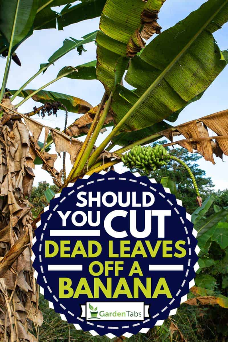 Banana Trees With Banana Blossom and banana dead leaves in the garden, Should You Cut Dead Leaves Off A Banana Tree?