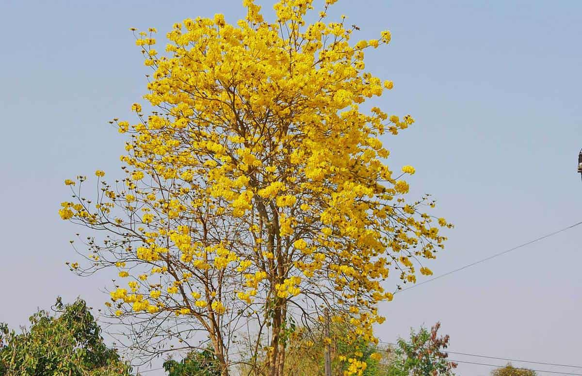 Simply beautiful yellow golden trumpet (handroanthus chrysotrichus tree) blossoming