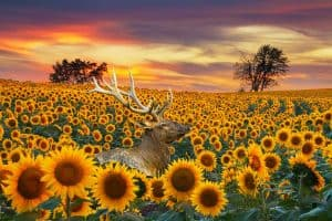 Are Sunflowers Deer Resistant? [and How to Protect Your Plants]