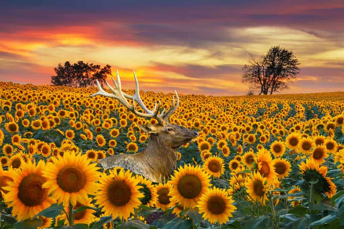 Sunflower field with a deer in the background in the Midwest in full bloom at sunset. Are Sunflowers Deer Resistant? [and How to Protect Your Plants]