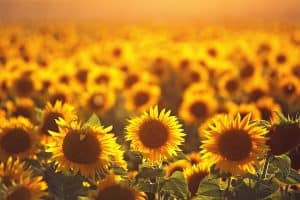 How Fast Do Sunflowers Grow?