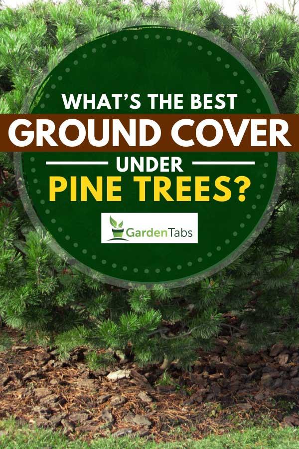Beautiful large, dwarf mountain pine, pinus mugo in the garden