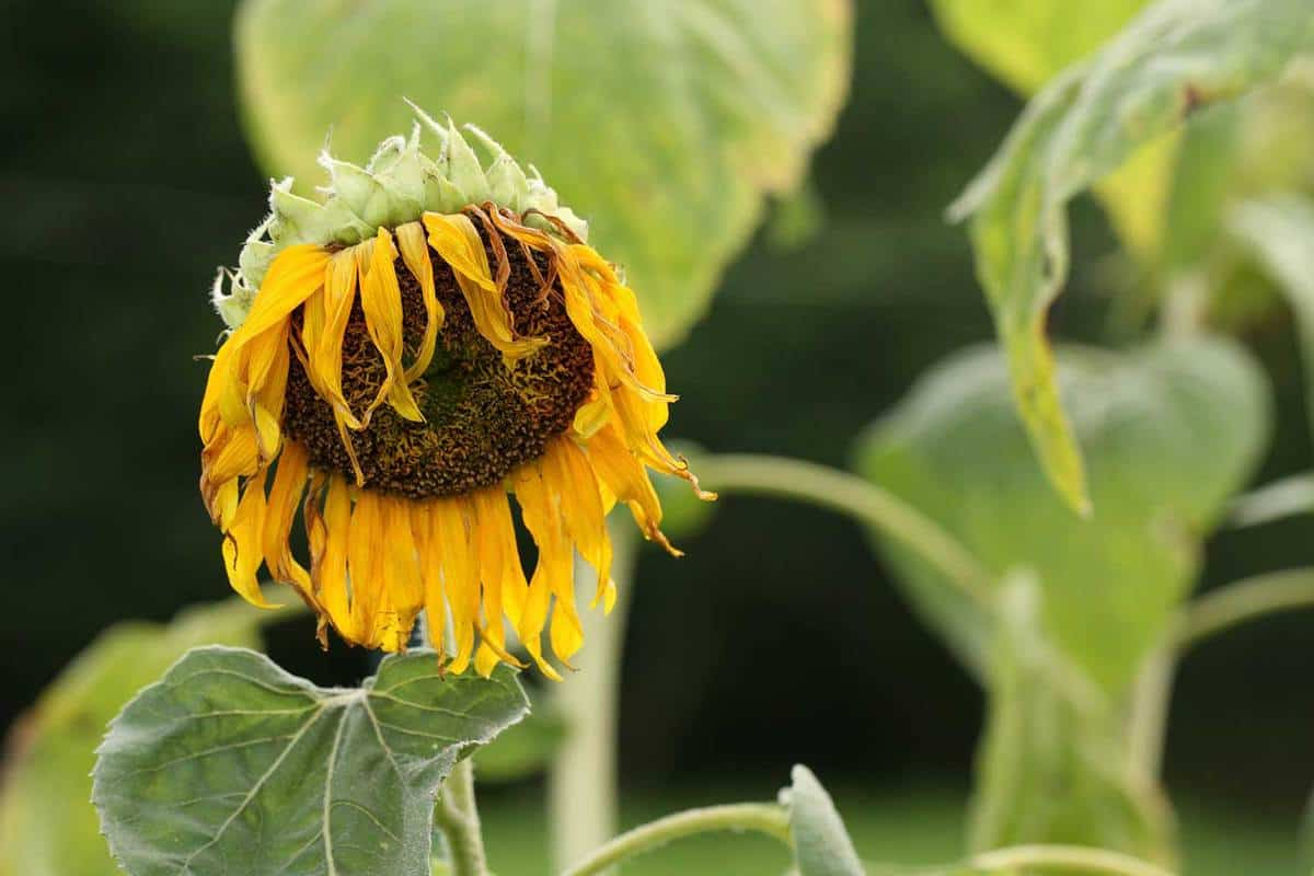 Withered sunflower on the field