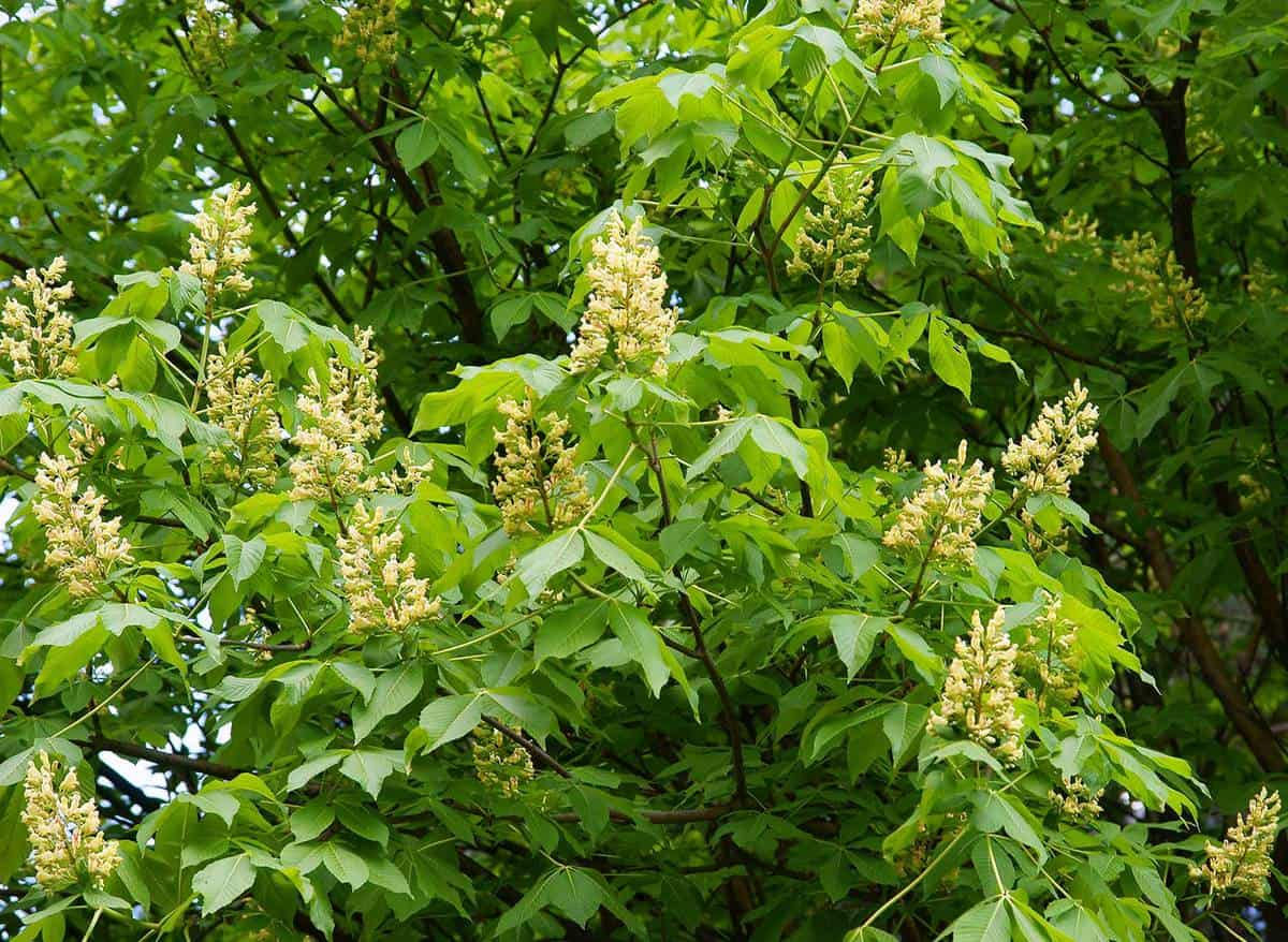 Yellow flowers of Aesculus flava tree at spring