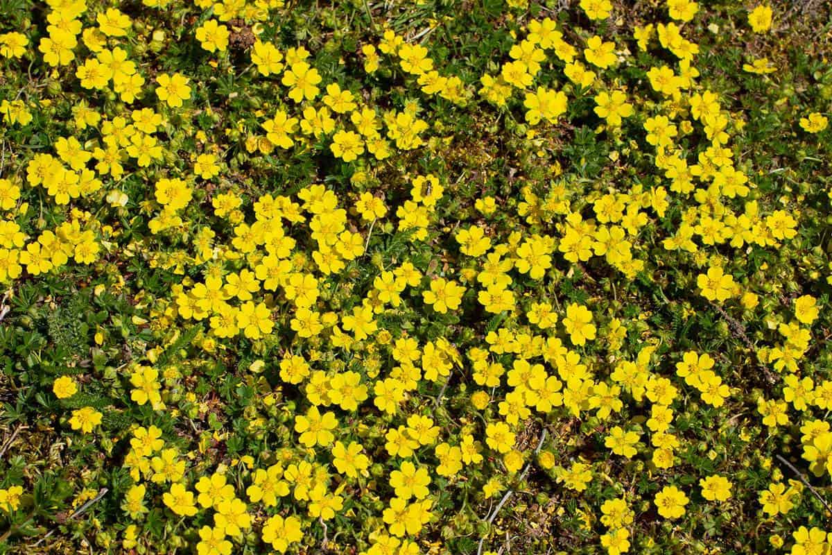 Yellow flowers of creeping cinquefoil