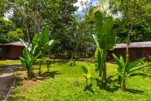 young banana tree planted at the back of a wooden house, 25 Types of Banana Plants
