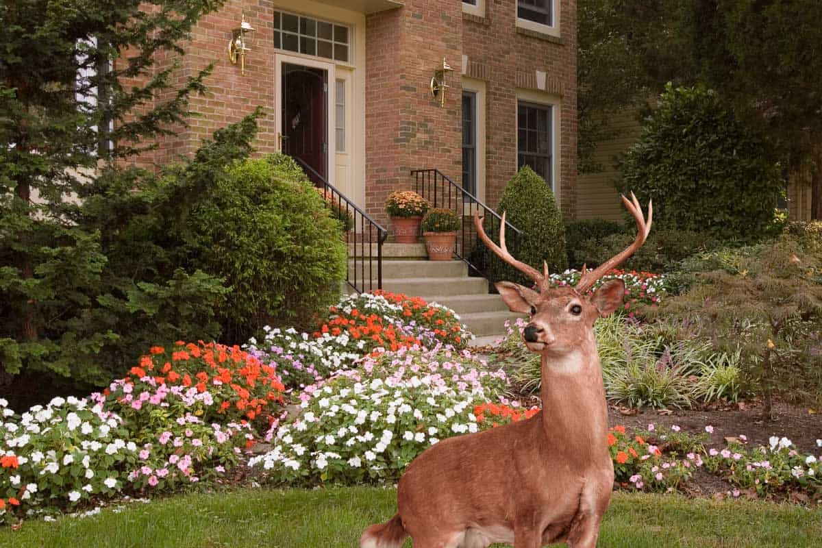 A collage of Lush flower beds with impatiens line a walkway to a front door of a residence and a deer