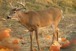 Do Deer Eat Pumpkins or Pumpkin Plants?
