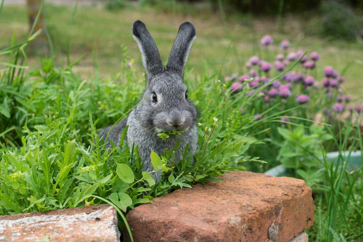 A gray rabbit sits in the herb bed and eats