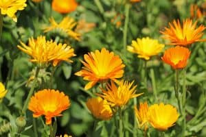 A marigold at full bloom on the hot sun, Do Deer Eat Marigolds? [And How to Prevent That]