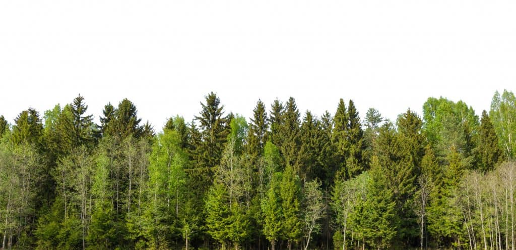 A panoramic view of a pine forest